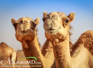 NPR reported on camels being disqualified in a beauty pageant in Saudi Arabia because the animals were treated to Botox to enhance their looks.